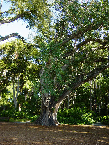 Bodhi_tree_foster_botanical_gardens_hawaii