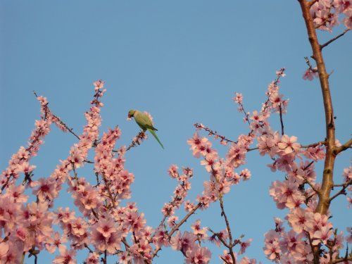 Rose_ringed_Parakeet_in_bitter_Almond